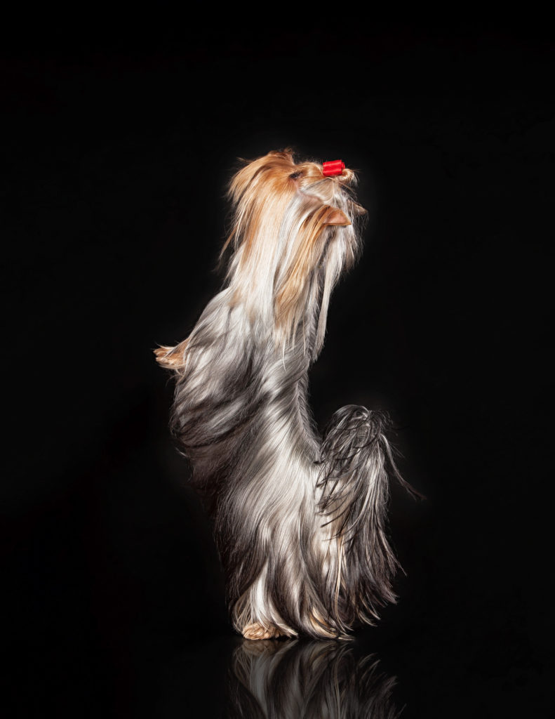 Yorkie Puppy - Gorjesspets Yorkies - Gorjesspets.com