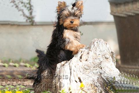 GorjessPets Yorkie Puppies Breeder