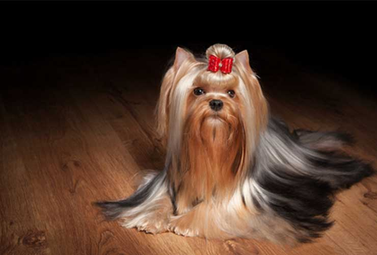 yorkie breeders near me puppies for sale 702 789 7892 gorjesspets. Black Bedroom Furniture Sets. Home Design Ideas