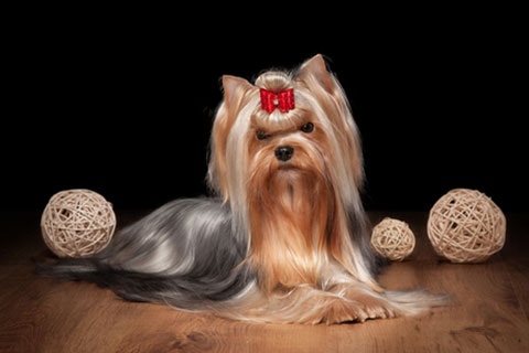 Yorkshire Terrier - GorjessPets.com