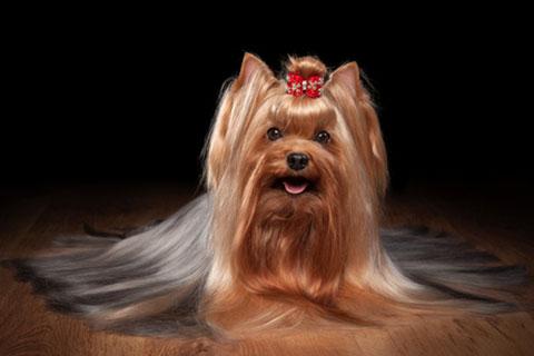 GorjessPets Yorkie Puppy Breeder -