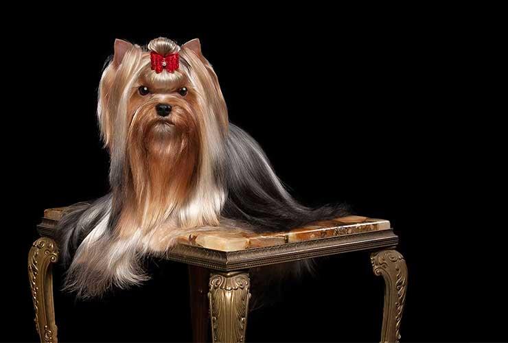 Weston, MA - GorjessPets Yorkie Puppy Breeder