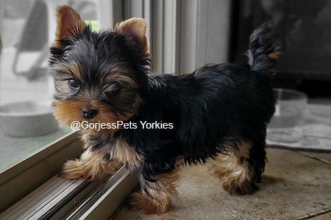 GorjessPets-Yorkie-Male-Maverick - Gorjesspets.com