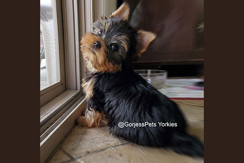 GorjessPets-Yorkie-Puppy-Male - GorjessPets.com